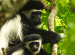 Colobus Monkeys - Thumbnail