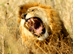 Male Lion - Thumbnail