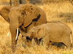 Female Elephant and Calf - Thumbnail