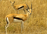 Thompson's Gazelles - Thumbnail
