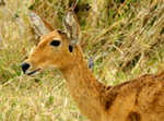 Common Reedbuck - Thumbnail