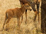 Topi Cow and Calf - Thumbnail