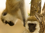 Vervet Monkeys - Thumbnail