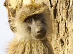 Young Olive Baboon - Thumbnail