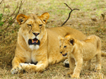 Lioness and Cub - Thumbnail