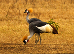 Gray Crowned Cranes - Thumbnail